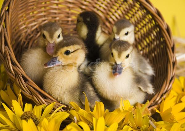 Pequeño Pascua pato primavera colorido brillante Foto stock © JanPietruszka