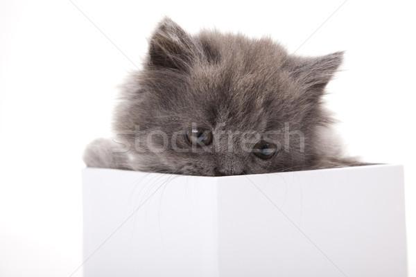 British little kitten, cute pet colorful theme Stock photo © JanPietruszka