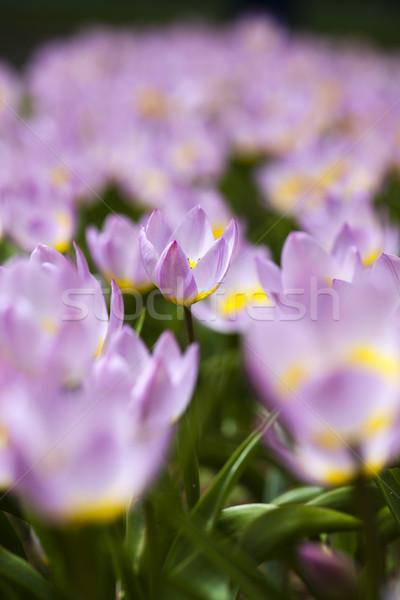 Gyönyörű tulipánok tavasz színes élénk húsvét Stock fotó © JanPietruszka