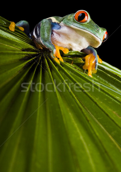 Rana selva colorido naturaleza rojo tropicales Foto stock © JanPietruszka