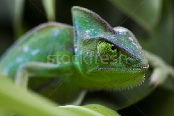 Lagarto familias camaleón cruz fondo retrato Foto stock © JanPietruszka