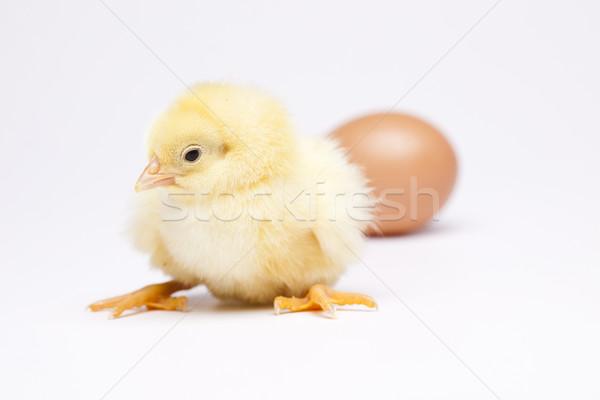 Bebê pintinho páscoa pássaro frango pena Foto stock © JanPietruszka