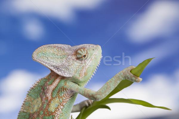 Céu réptil camaleão lagarto verde bebê Foto stock © JanPietruszka