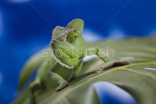 Dragon, Green chameleon Stock photo © JanPietruszka