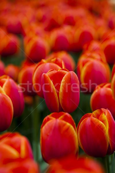 Piękna tulipany wiosną kolorowy żywy Wielkanoc Zdjęcia stock © JanPietruszka