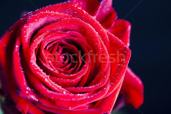 Kırmızı gül harika bahar canlı çiçekler sevmek Stok fotoğraf © JanPietruszka