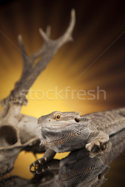 Skull, Lizard, Agama, Antlers, dragon and skull  Stock photo © JanPietruszka
