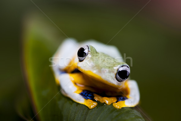 Flying Frog in the jungle Stock photo © JanPietruszka