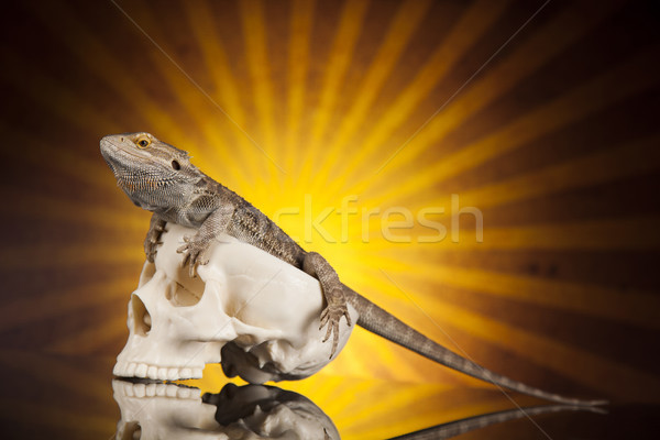 Lizard, Agama, dragon and skull  Stock photo © JanPietruszka