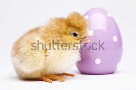 Baby chick Pasen vogel kip veer Stockfoto © JanPietruszka