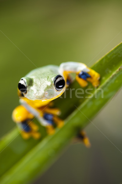 экзотический лягушка Индонезия зеленый тропические животного Сток-фото © JanPietruszka