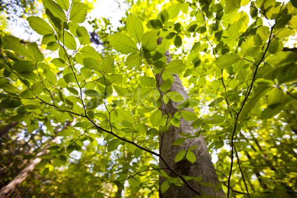 Laisse naturelles printemps lumière feuille cadre Photo stock © JanPietruszka