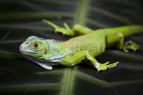 Lizard, bright colorful vivid theme Stock photo © JanPietruszka