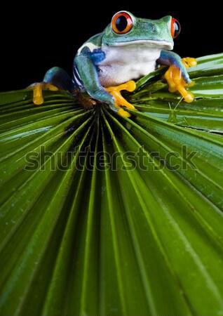 Green tree frog Stock photo © JanPietruszka