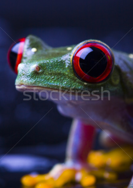 Stock photo: Red eyed frog green tree on colorful background
