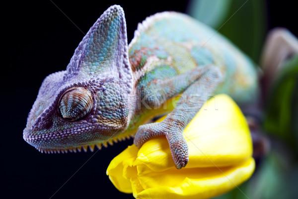Flower on chameleon, bright vivid exotic climate Stock photo © JanPietruszka