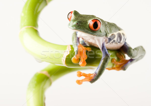 Rood oog boomkikker kleurrijk natuur blad Stockfoto © JanPietruszka