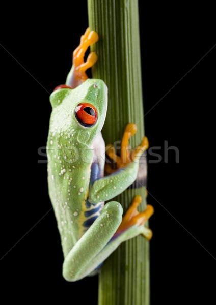 Piros szem levelibéka levél színes természet Stock fotó © JanPietruszka