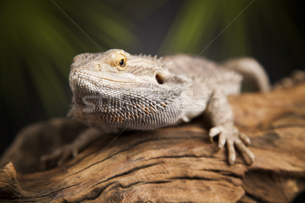 Lizard root, Bearded Dragon on green background Stock photo © JanPietruszka