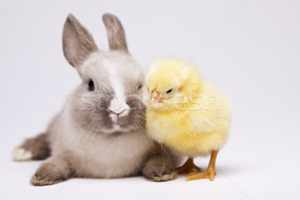 Rabbit on chick Stock photo © JanPietruszka