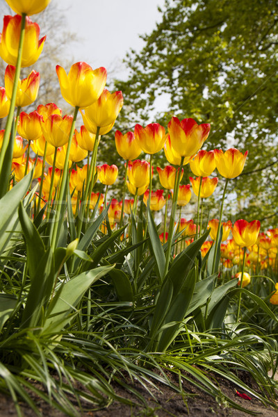 Tulips , the flowers in the garden , early spring Stock photo © JanPietruszka