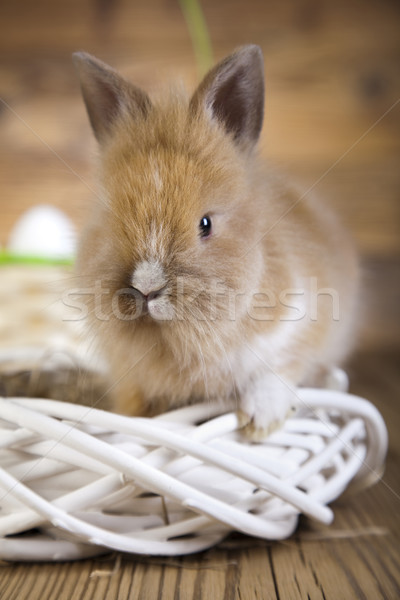 Baby bunny  Stock photo © JanPietruszka