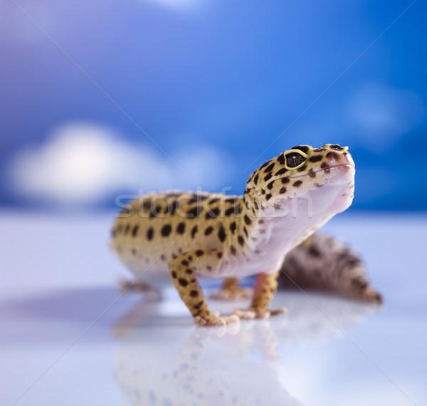 Gekko oog lopen witte dier hagedis Stockfoto © JanPietruszka