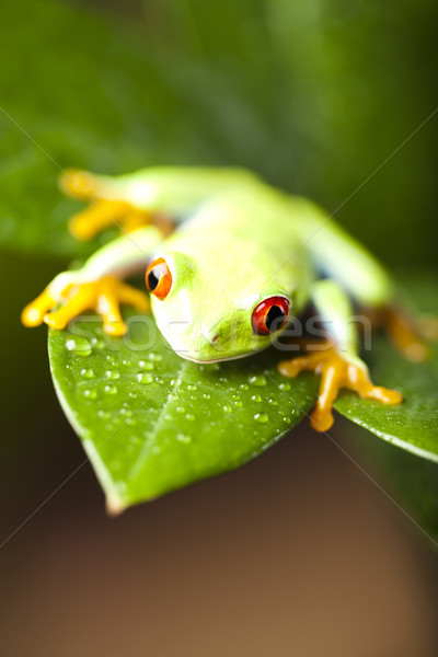 Tree frog Stock photo © JanPietruszka