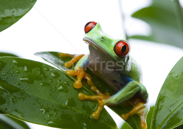 Stock photo: Red eye tree frog on leaf on colorful background