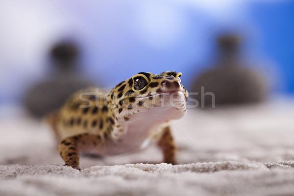 小 ヤモリ は虫類 トカゲ 眼 徒歩 ストックフォト © JanPietruszka