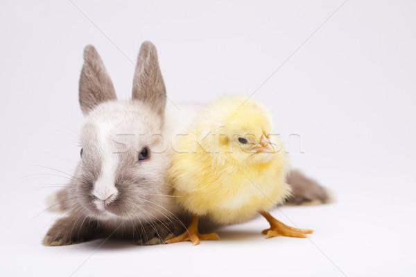 Happy Easter, Chickens in bunny Stock photo © JanPietruszka