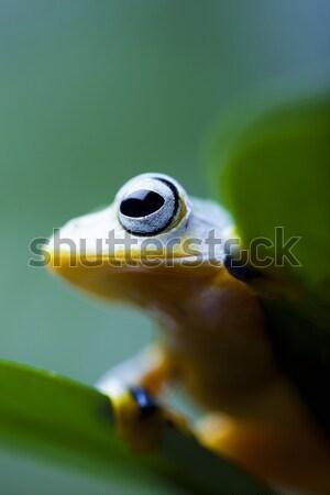 Egzotik kurbağa Endonezya yeşil tropikal hayvan Stok fotoğraf © JanPietruszka