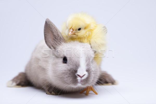 Nyúl csirke húsvét baba madár tyúk Stock fotó © JanPietruszka