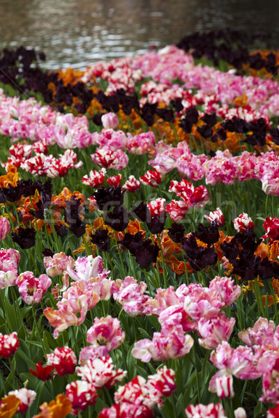 Garden of tulips, spring colorful vivid theme Stock photo © JanPietruszka
