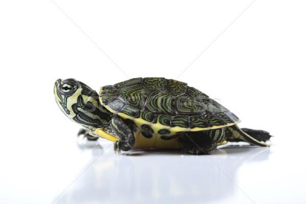 Tortoise, egzotic natural tone concept Stock photo © JanPietruszka