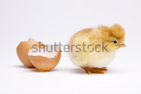 Baby chick Stock photo © JanPietruszka