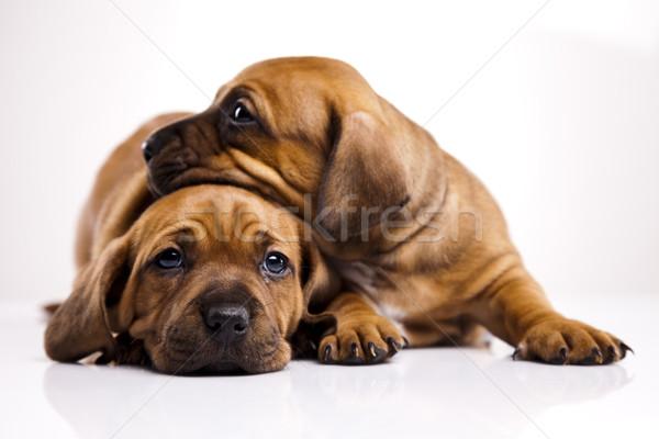 Baby dogs Stock photo © JanPietruszka