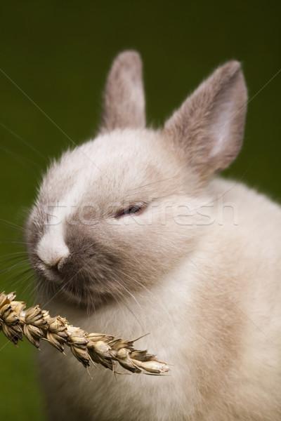 Пасхальный заяц Пасху трава Bunny животные смешные Сток-фото © JanPietruszka