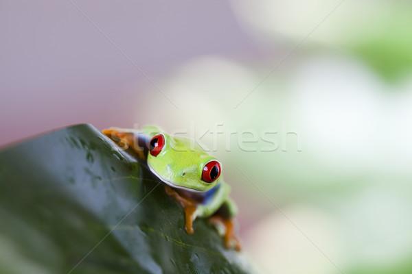 Stock photo: Red eye tree frog