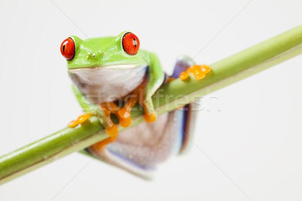 Piros szem levelibéka színes természet levél Stock fotó © JanPietruszka