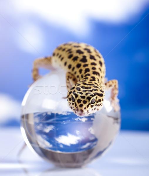 Wereldbol gekko oog witte dier hagedis Stockfoto © JanPietruszka