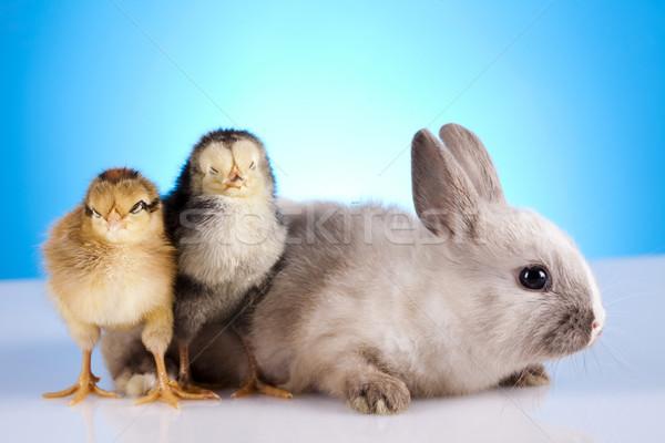 Civciv tavşan Paskalya çim komik hayvan Stok fotoğraf © JanPietruszka