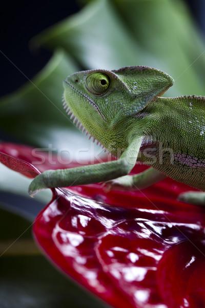 Foto stock: Camaleão · flor · atravessar · fundo · retrato · animais