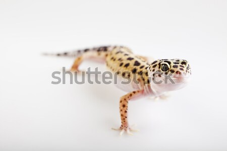 Leopard gecko, bright colorful vivid theme Stock photo © JanPietruszka