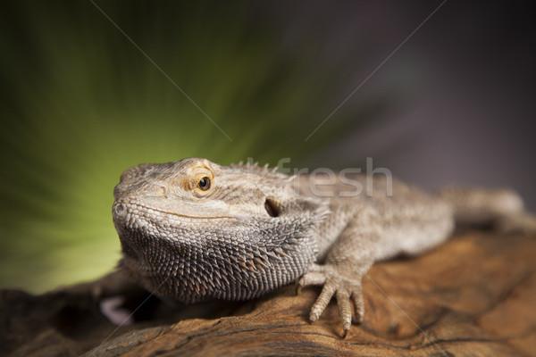 Gyík gyökér szakállas sárkány zöld fa Stock fotó © JanPietruszka
