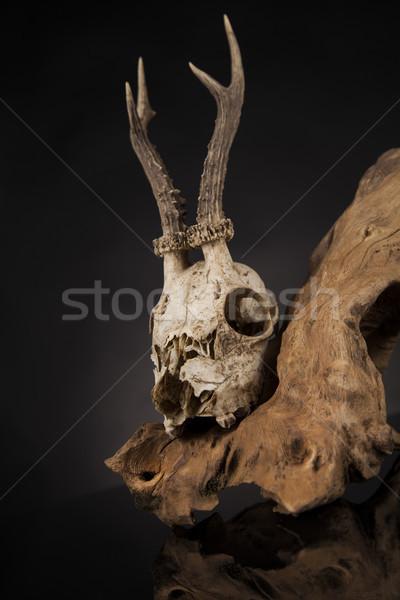 Yıpranmış geyik kafatası siyah ayna ölüm Stok fotoğraf © JanPietruszka