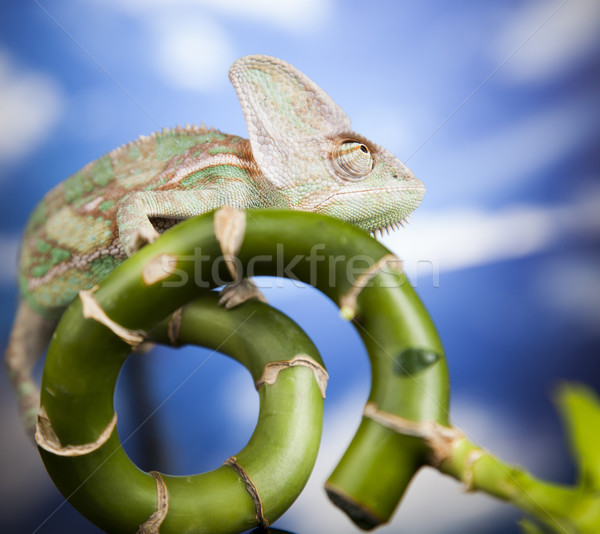 Green chameleon,lizard on blue sky background Stock photo © JanPietruszka