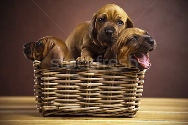 Puppies, wicker basket  Stock photo © JanPietruszka