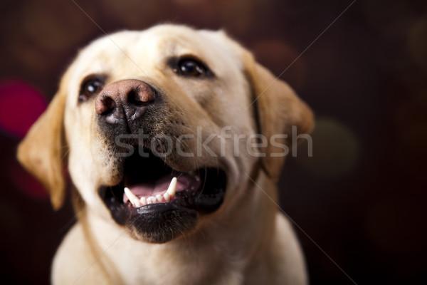 Foto stock: Cão · labrador · retriever · cara · retrato · animal · cachorro