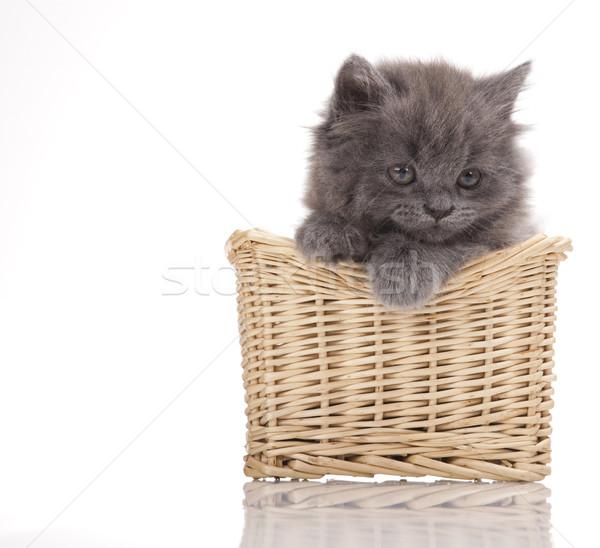 британский мало котенка Cute ПЭТ красочный Сток-фото © JanPietruszka